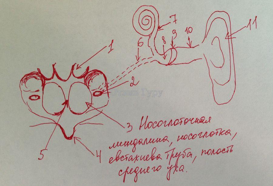 Носоглоточная миндалина в норме